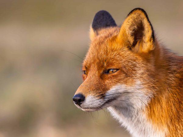 Wildkamera Fuchs